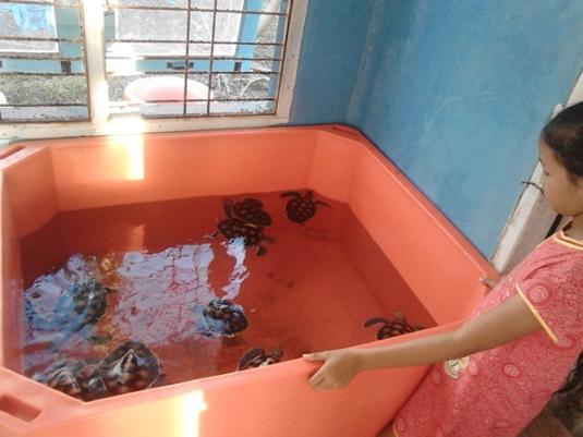 konservasi penyu pantai pariaman sumbar (13)