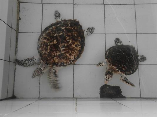 konservasi penyu pantai pariaman sumbar (3)